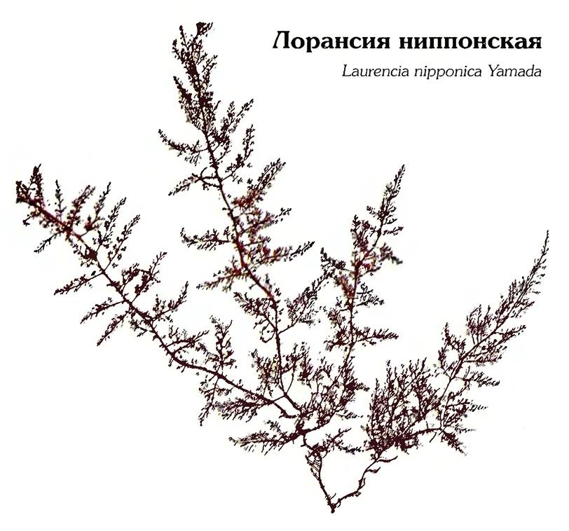 Лорансия ниппонская