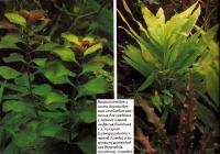 Людвигия болотная & л. ползучая и гигрофила щитковидная