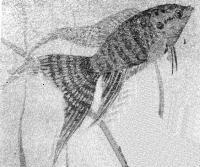 Макропод самец