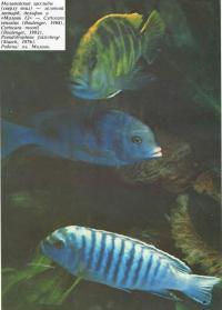 Малазийские цихлиды