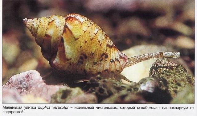 Маленькая улитка Euplica versicolor