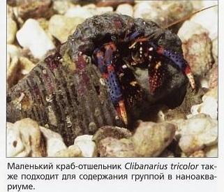 Малюсенький краб-отшельник Clibanarius tricolor