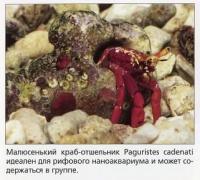 Малюсенький краб-отшельник Paguristes cadenati