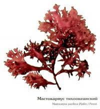 Мастокарпус тихоокеанский