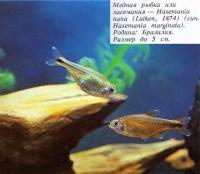 Медная рыбка или хасемания