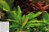 Молодое растение эхинодоруса сердцелистного «Тропика Марбл Квин»