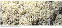 Молоточковый коралл (Euphyllia ancora)