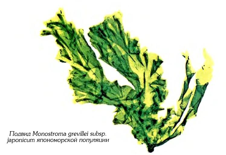 Монострома Гревилля (японский подвид)