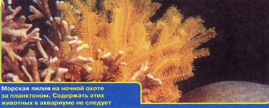 Морская лилия на охоте