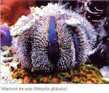 Морской ёж-шар (Mespilia globulus)