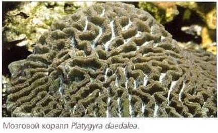 Мозговой коралл Platygyra daedalea