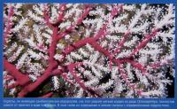 Мягкий коралл Chironepthya