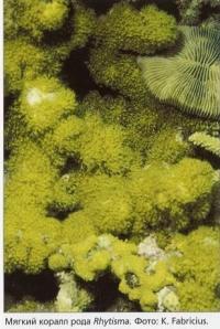 Мягкий коралл Rhytisma