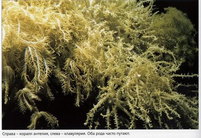 Мягкий коралл рода Anthelia