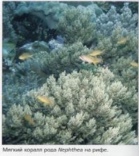 Мягкий коралл рода Nephthea