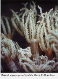 Мягкий коралл рода Sansibia
