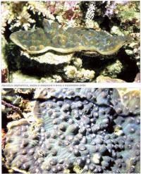Mysedium elephantotus в аквариуме и природной среде