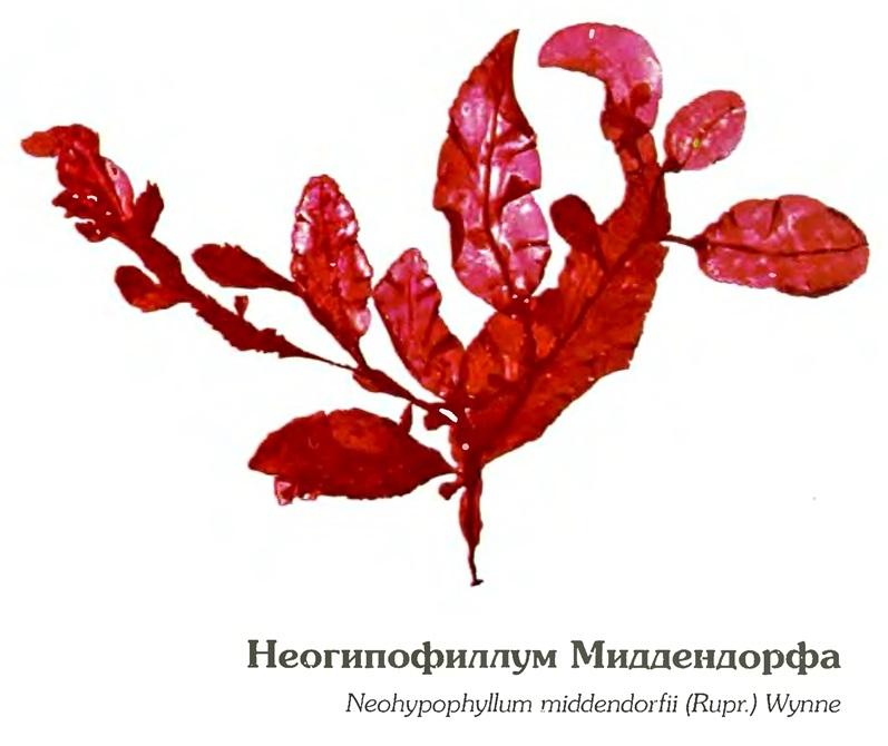 Неогипофиллум Миддендорфа