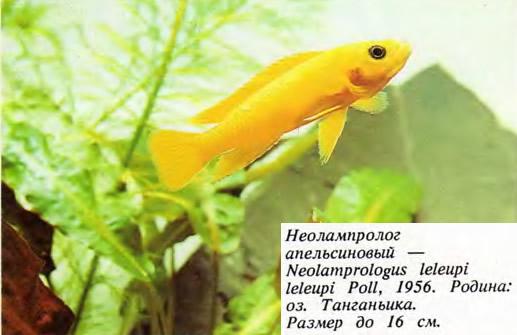Неолампролог апельсиновый