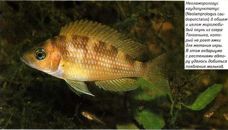 Неолампрологус каудопунктатус (Neolamprologus caudopunctatus)