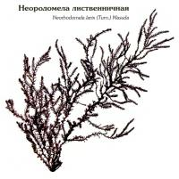 Неородомела лиственничная