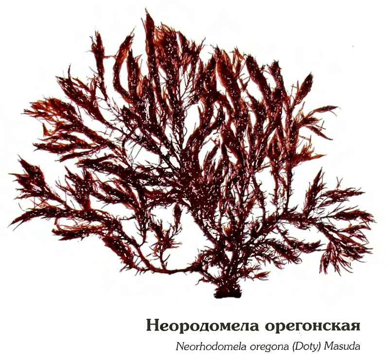 Неородомела орегонская
