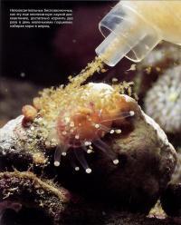 Незооксантелльных беспозвоночных достаточно кормить из шприца 2 раза в день