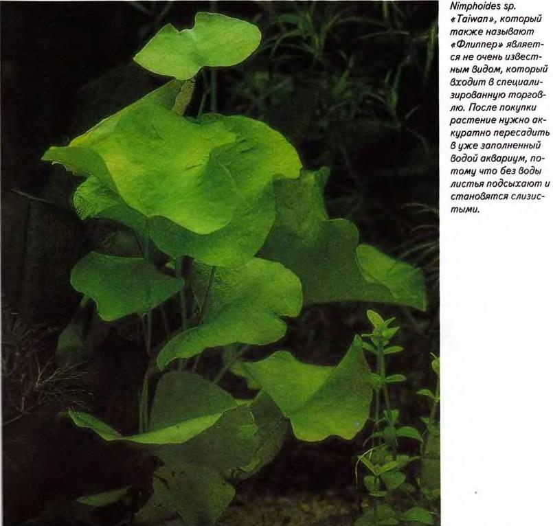 Nimphoides sp. «Taiwan», который называют «Флиппер»
