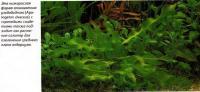 Низкорослая форма алоногетоно ульвовидного (Ароnogeton ulvaceus)