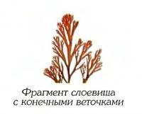Одонталия охотская (фрагмент)