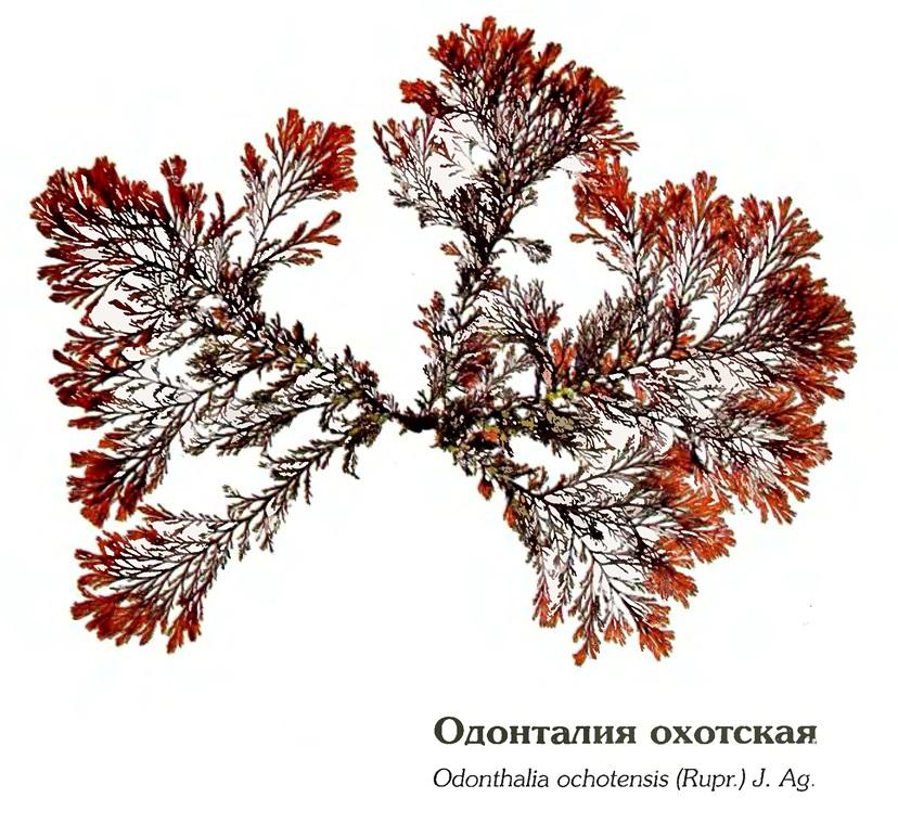 Порфира охотская (Porphyra ochotensis Nagai) (Природа