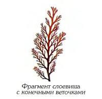 Одонталия щетинковидная (фрагмент)