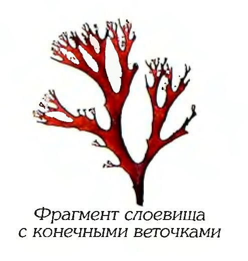 Одонталия щитконосная (фрагмент)