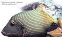 Оранжевый спинорог (Balistapus undulatus)