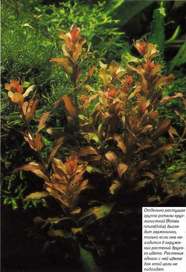 Отдельно растущая группа роталы круглолистной (Rotala rotundifolia)
