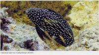 Павлиний фантом (Calloplesiops altivelis)