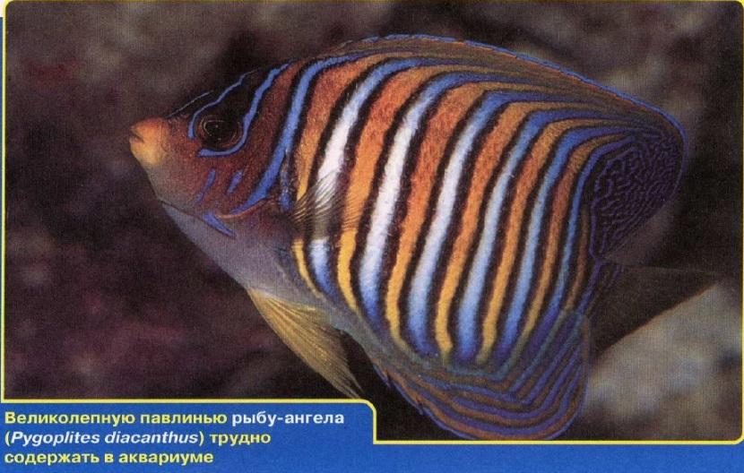 Павлинья рыба-ангел