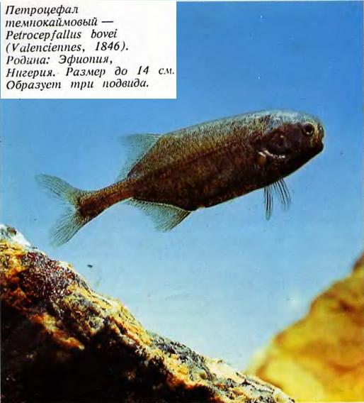 Петроцефал
