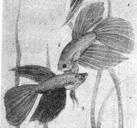 Петушки (бойцовские рыбки) самцы