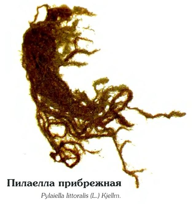 Пилаелла прибрежная