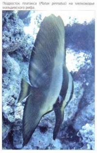 Платакс (Platax pinnatus) в мальдивском рифе