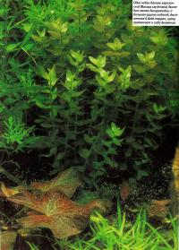 Побеги бакопы Каролинской (Васора caroliniana)