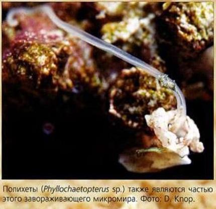 Полихеты (Phyllochaetopterus sp.)