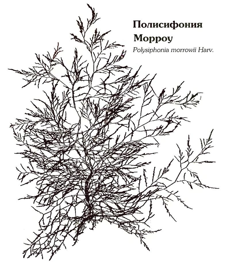 Полисифония Морроу