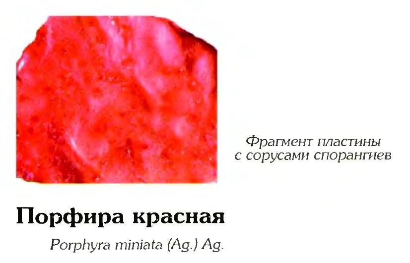 Порфира красная (фрагмент)