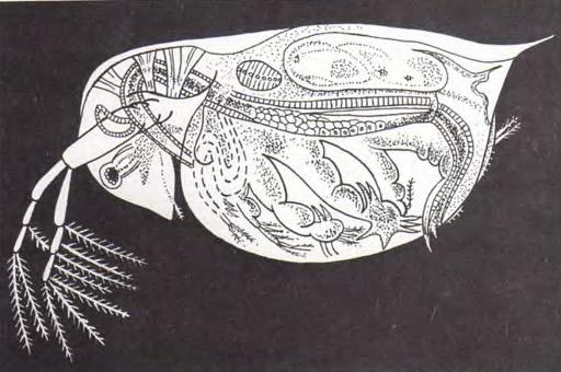 Представитель ветвистоусых рачков — Daphnia pulex, или дафния