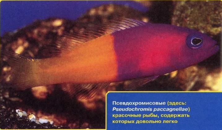 Псевдохромисовые рыбы