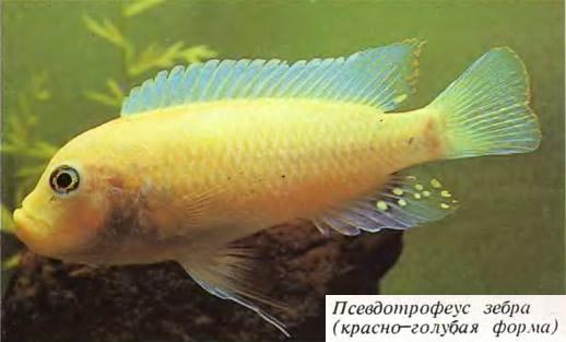 Псевдотрофеус зебра (красно-голубая форма)