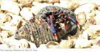 Рак-отшельник (Clibanarius sp.)