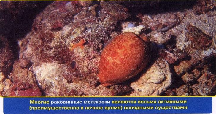 Раковинные моллюски